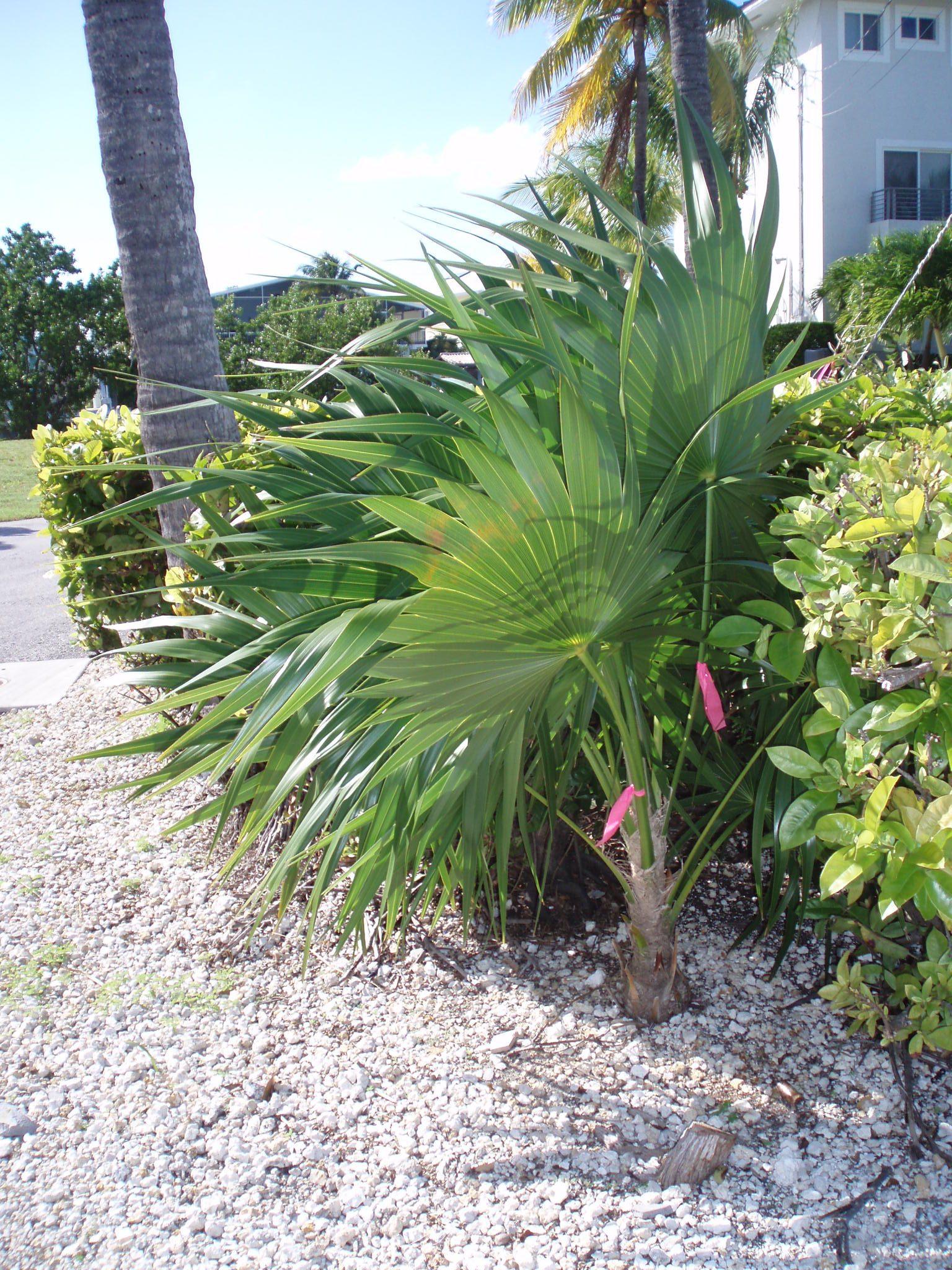 Ribboned Palm Tree